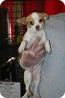 Chihuahua Dog for adoption in Clarksville, Virginia - Jill