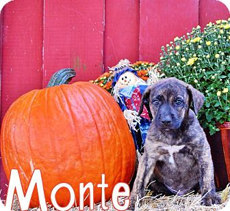 Shepherd (Unknown Type) Mix Puppy for adoption in Groveland, Florida - Monte (8 weeks)