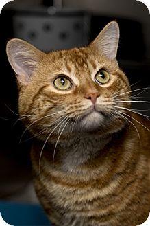 Domestic Shorthair Cat for adoption in Lombard, Illinois - Blake Shelton