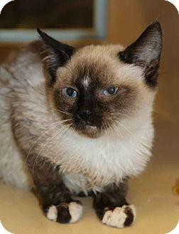 Siamese Kitten for adoption in Plano, Texas - QUINN- SIAMESE CUTIE