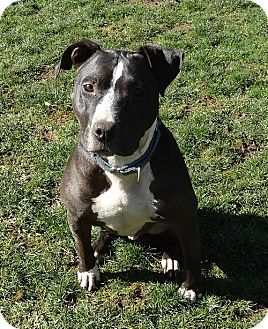 Pit Bull Terrier Mix Dog for adoption in Vancouver, Washington - Brody