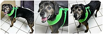 Beagle Mix Dog for adoption in Forked River, New Jersey - Princess