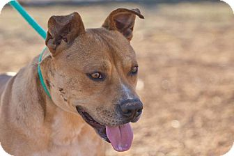 Pit Bull Terrier Mix Dog for adoption in Post, Texas - Sy
