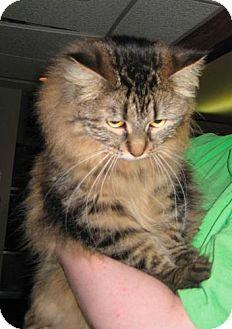Maine Coon Cat for adoption in Parkville, Missouri - Ella