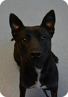 Labrador Retriever/Pit Bull Terrier Mix Dog for adoption in Bay Shore, New York - Matilda