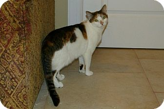 Domestic Shorthair Cat for adoption in staten Island, New York - Mindy