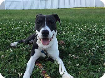 American Staffordshire Terrier/Border Collie Mix Dog for adoption in Chicago, Illinois - Barley