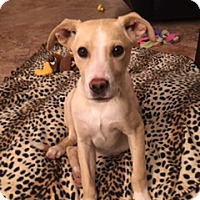 Adopt A Pet :: Sammy - Scottsdale, AZ
