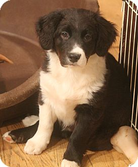 Border Collie/Retriever (Unknown Type) Mix Puppy for adoption in Bedford Hills, New York - Mia