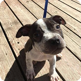 American Pit Bull Terrier Mix Puppy for adoption in Hawthorne, California - Bentley