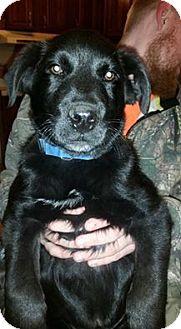 Labrador Retriever Mix Puppy for adoption in Staunton, Virginia - Max