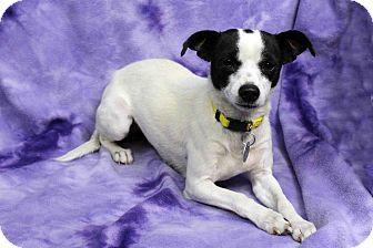 Chihuahua Mix Dog for adoption in Westminster, Colorado - Dorian