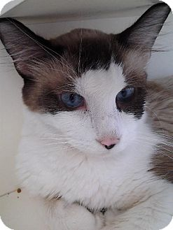 Snowshoe Cat for adoption in Columbus, Ohio - Heather