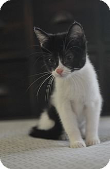 Domestic Shorthair Kitten for adoption in Seattle, Washington - Phoebe