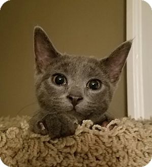 Domestic Shorthair Kitten for adoption in Cleveland, Ohio - Heidi