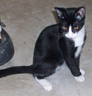 Domestic Shorthair Kitten for adoption in Morriston, Florida - PETEY