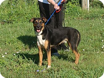 Shepherd (Unknown Type) Mix Dog for adoption in Cameron, Missouri - keely