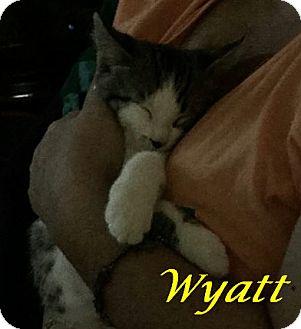Domestic Shorthair Kitten for adoption in Chisholm, Minnesota - Wyatt