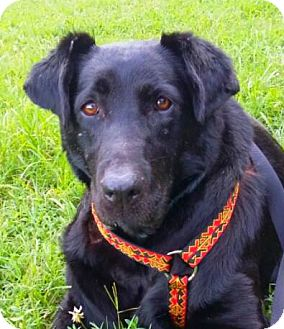 Labrador Retriever Mix Dog for adoption in Wallops Island, Virginia - Madea