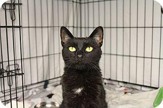 Domestic Shorthair Cat for adoption in Warwick, Rhode Island - Lulu