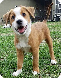 Brittany/Golden Retriever Mix Puppy for adoption in Weeki Wachee, Florida - Jada