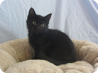 Domestic Shorthair Kitten for adoption in Ridgway, Colorado - Onyx
