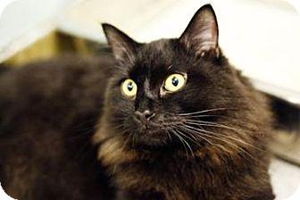 Domestic Longhair Cat for adoption in Lowell, Massachusetts - Bear