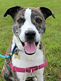 Shepherd (Unknown Type)/American Staffordshire Terrier Mix Dog for adoption in Dillsburg, Pennsylvania - Reese