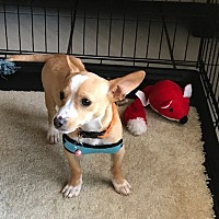 Chihuahua Dog for adoption in Arlington, Texas - Max