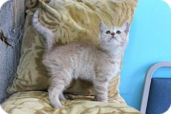 Domestic Shorthair Kitten for adoption in Sussex, New Jersey - HERMAN