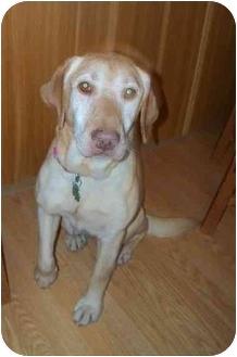Labrador Retriever Mix Dog for adoption in Salem, Massachusetts - Darcy