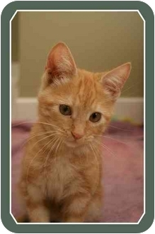 Domestic Shorthair Kitten for adoption in Sterling Heights, Michigan - Scampurr  ADOPTED!
