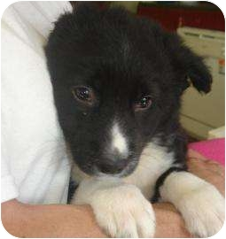 Labrador Retriever Mix Puppy for adoption in Old Bridge, New Jersey - Pearson