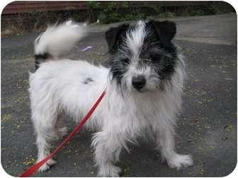 Shih Tzu/Chihuahua Mix Dog for adoption in Worcester, Massachusetts - Oreo