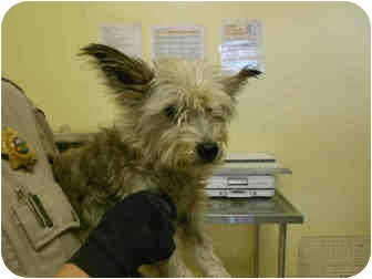 Schnauzer (Miniature) Mix Dog for adoption in Yuba City, California - Bubbles