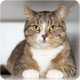 Domestic Shorthair Cat for adoption in Toronto, Ontario - Sebastian *declawed*