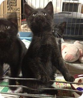 American Shorthair Kitten for adoption in Portland, Maine - Gibbs