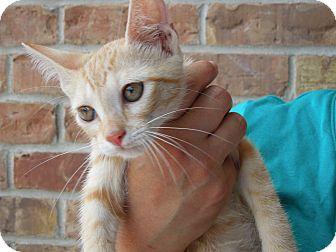 Domestic Shorthair Kitten for adoption in Brownsville, Texas - Chispi