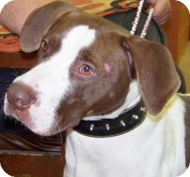 American Bulldog/Hound (Unknown Type) Mix Dog for adoption in Wayne, New Jersey - Spike