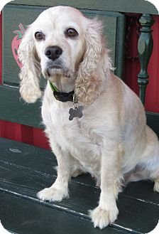 Cocker Spaniel Dog for adoption in Sugarland, Texas - Gem