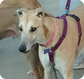 Greyhound Dog for adoption in Tucson, Arizona - Katie