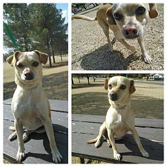 Chihuahua Dog for adoption in Scottsdale, Arizona - Cupcake