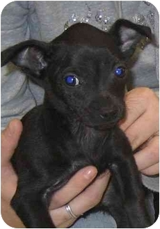Chihuahua Puppy for adoption in House Springs, Missouri - Winston