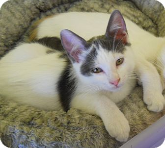 Domestic Shorthair Cat for adoption in Mobile, Alabama - Dice