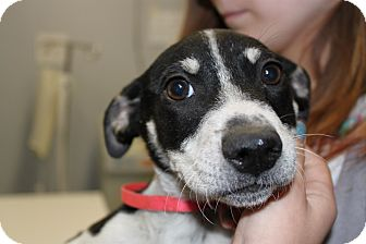 Pointer Mix Puppy for adoption in Waldorf, Maryland - Domino