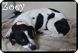 Dachshund/Rat Terrier Mix Dog for adoption in Rockwall, Texas - Zoey