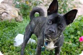 French Bulldog/Chihuahua Mix Dog for adoption in Los Angeles, California - Balou