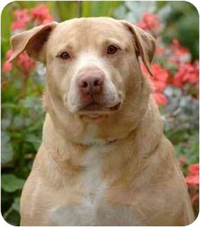 Labrador Retriever/Shar Pei Mix Dog for adoption in El Segundo, California - Sunny
