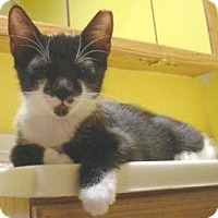 Domestic Shorthair Kitten for adoption in Miami, Florida - Batty