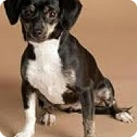 Adopt A Pet :: Poppy - Phoenix, AZ